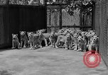 Image of lion cubs El Monte California USA, 1933, second 12 stock footage video 65675055008