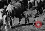 Image of wild ponies Chincoteague Island Virginia USA, 1939, second 8 stock footage video 65675055162