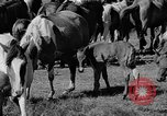 Image of wild ponies Chincoteague Island Virginia USA, 1939, second 9 stock footage video 65675055162
