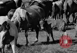 Image of wild ponies Chincoteague Island Virginia USA, 1939, second 10 stock footage video 65675055162