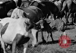 Image of wild ponies Chincoteague Island Virginia USA, 1939, second 11 stock footage video 65675055162