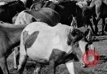 Image of wild ponies Chincoteague Island Virginia USA, 1939, second 12 stock footage video 65675055162