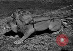 Image of lions Los Angeles California USA, 1935, second 2 stock footage video 65675055188