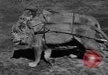 Image of lions Los Angeles California USA, 1935, second 4 stock footage video 65675055188