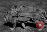 Image of lions Los Angeles California USA, 1935, second 5 stock footage video 65675055188