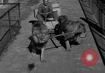 Image of lions Los Angeles California USA, 1935, second 8 stock footage video 65675055188