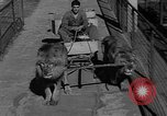 Image of lions Los Angeles California USA, 1935, second 10 stock footage video 65675055188