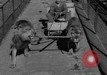 Image of lions Los Angeles California USA, 1935, second 12 stock footage video 65675055188