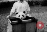 Image of Giant Panda Chi Chi Frankfurt Germany, 1958, second 4 stock footage video 65675055655