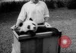 Image of Giant Panda Chi Chi Frankfurt Germany, 1958, second 5 stock footage video 65675055655