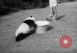 Image of Giant Panda Chi Chi Frankfurt Germany, 1958, second 10 stock footage video 65675055655