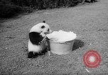 Image of Giant Panda Chi Chi Frankfurt Germany, 1958, second 12 stock footage video 65675055655