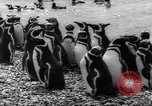 Image of penguins Santa Cruz Province Argentina, 1960, second 10 stock footage video 65675055784