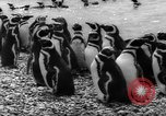 Image of penguins Santa Cruz Province Argentina, 1960, second 11 stock footage video 65675055784