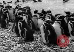 Image of penguins Santa Cruz Province Argentina, 1960, second 12 stock footage video 65675055784