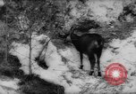 Image of Alpine animals Europe Alps, 1963, second 11 stock footage video 65675055907