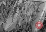 Image of corn industry Midwest United States USA, 1942, second 5 stock footage video 65675057910