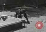 Image of chimpanzee California United States USA, 1953, second 7 stock footage video 65675058248