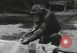 Image of chimpanzee California United States USA, 1953, second 11 stock footage video 65675058248