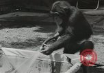 Image of chimpanzee California United States USA, 1953, second 12 stock footage video 65675058248