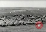 Image of flock of sheep Alberta Canada, 1943, second 7 stock footage video 65675058480