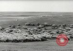 Image of flock of sheep Alberta Canada, 1943, second 10 stock footage video 65675058480