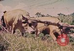 Image of Cattle pull a plow Puerto Rico, 1941, second 1 stock footage video 65675058641