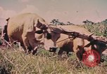 Image of Cattle pull a plow Puerto Rico, 1941, second 2 stock footage video 65675058641