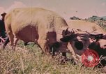 Image of Cattle pull a plow Puerto Rico, 1941, second 4 stock footage video 65675058641