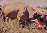 Image of Cattle pull a plow Puerto Rico, 1941, second 5 stock footage video 65675058641