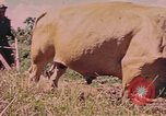 Image of Cattle pull a plow Puerto Rico, 1941, second 9 stock footage video 65675058641