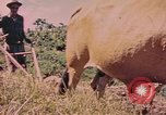 Image of Cattle pull a plow Puerto Rico, 1941, second 12 stock footage video 65675058641