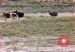 Image of Ostriches Sub Saharan Africa, 1958, second 1 stock footage video 65675058727
