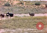 Image of Ostriches Sub Saharan Africa, 1958, second 2 stock footage video 65675058727