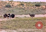 Image of Ostriches Sub Saharan Africa, 1958, second 3 stock footage video 65675058727