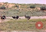 Image of Ostriches Sub Saharan Africa, 1958, second 4 stock footage video 65675058727