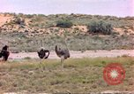 Image of Ostriches Sub Saharan Africa, 1958, second 6 stock footage video 65675058727