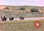 Image of Ostriches Sub Saharan Africa, 1958, second 7 stock footage video 65675058727