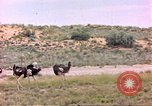 Image of Ostriches Sub Saharan Africa, 1958, second 8 stock footage video 65675058727