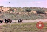 Image of Ostriches Sub Saharan Africa, 1958, second 9 stock footage video 65675058727