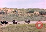 Image of Ostriches Sub Saharan Africa, 1958, second 10 stock footage video 65675058727
