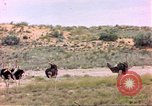 Image of Ostriches Sub Saharan Africa, 1958, second 11 stock footage video 65675058727