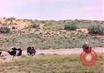 Image of Ostriches Sub Saharan Africa, 1958, second 12 stock footage video 65675058727