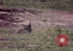 Image of Rhinoceros Sub Saharan Africa, 1958, second 7 stock footage video 65675058732