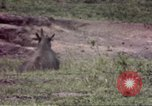 Image of Rhinoceros Sub Saharan Africa, 1958, second 10 stock footage video 65675058732