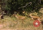 Image of gazelles Sub Saharan Africa, 1958, second 5 stock footage video 65675058735