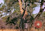 Image of giraffes Sub Saharan Africa, 1958, second 10 stock footage video 65675058737