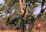 Image of giraffes Sub Saharan Africa, 1958, second 11 stock footage video 65675058737
