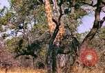 Image of giraffes Sub Saharan Africa, 1958, second 12 stock footage video 65675058737