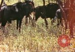 Image of a herd of wildebeests Sub Saharan Africa, 1958, second 1 stock footage video 65675058739